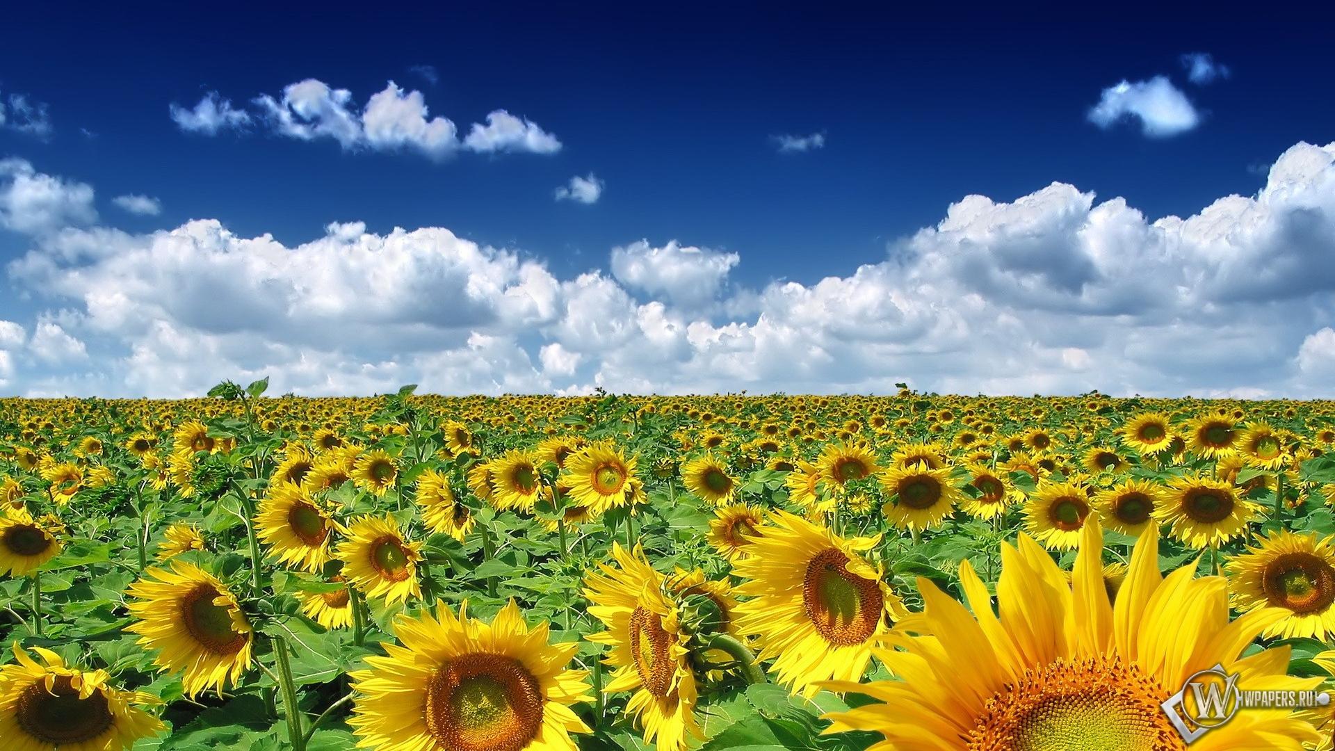Обои подсолнуховое поле облака поле