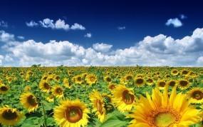 Обои Подсолнуховое поле: Облака, Поле, Подсолнухи, Растения