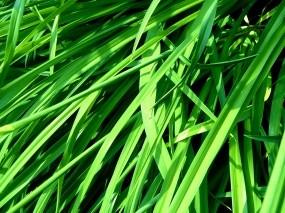 Обои Трава: Трава, Растения