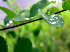 Обои Капли на листе дерева: Капли, Лист, Макро, Растения
