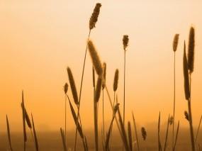 Обои Колосья пшеницы: Пшеница, Колосья, Растения