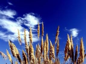 Обои Камыш на фоне неба: Колосья, Небо, Камыш, Растения