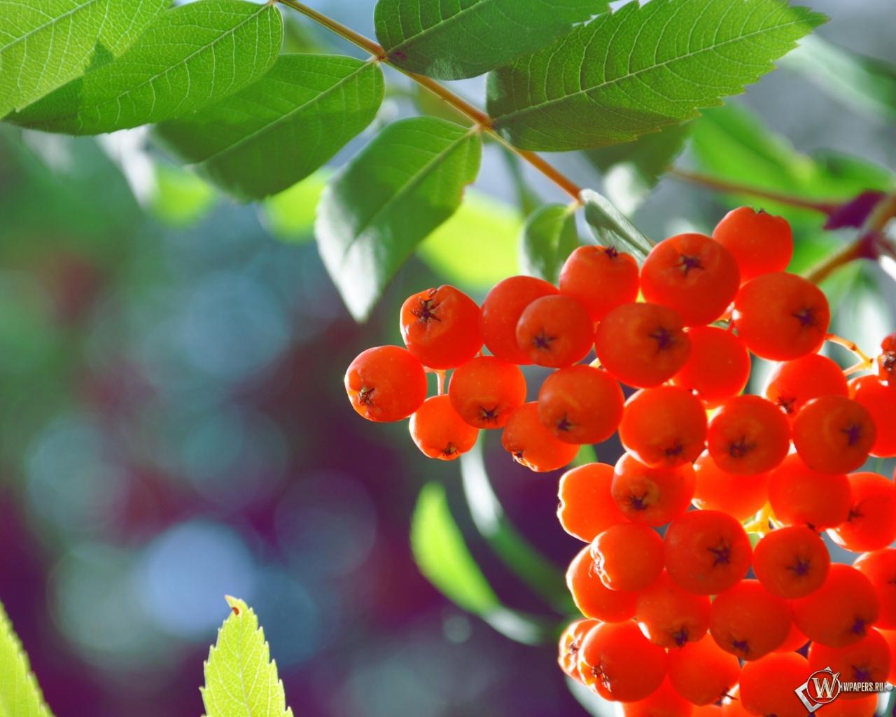 рябина ягоды обоев 37 рябина обоев 7: wpapers.ru/wallpapers/Plants/8664/1280-1024_%C3%90%C2%A0%C3%91%C2...