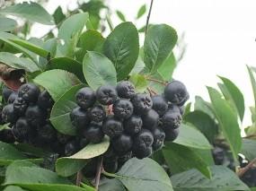Обои Черноплодная рябина: Ягоды, Гроздь, Рябина, Растения