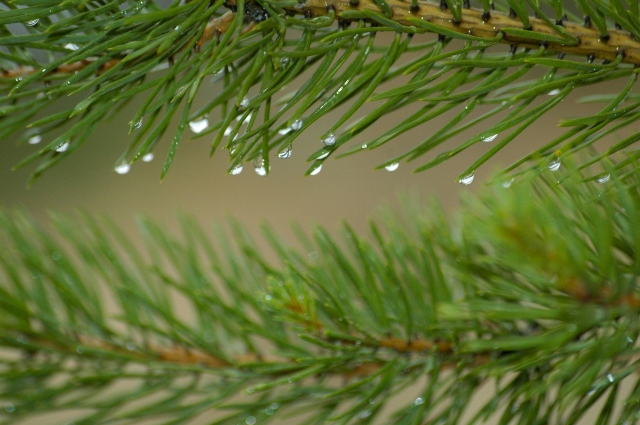 Мокрая еловая ветвь
