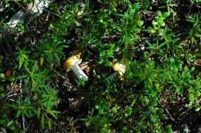 Обои Грибочки в зелени: Зелень, Грибы, Растения