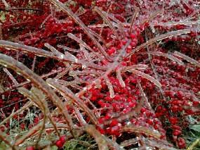 Обои Обледенелые ягоды: Зима, Ягоды, Лёд, Растения
