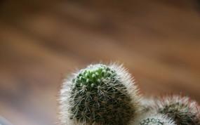 Обои Кактус: Кактус, Иголки, Растения