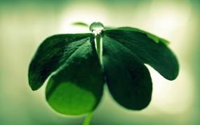 Обои Капля на клевере: Зелень, Лист, Макро, Капля, Клевер, Растения
