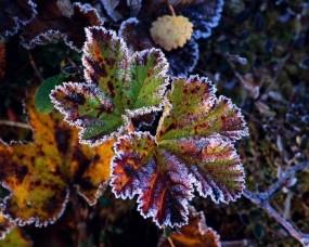 Обои Листочек в иние: Иней, Осень, Листочек, Растения