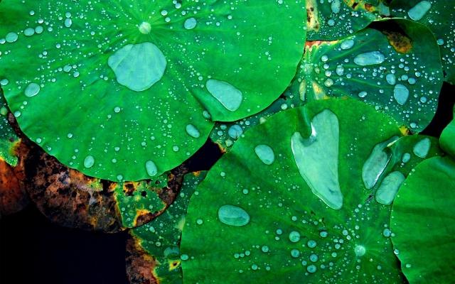 Капли на листьях