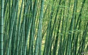 Обои Бамбуковые заросли: , Бамбук