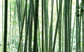 Обои Стебли бамбука: , Бамбук