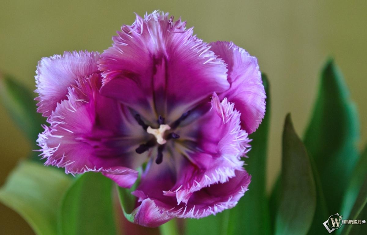 Фиолетовый тюльпан 1200x768