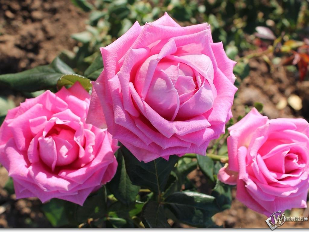 Обои розовые розы цветы розы
