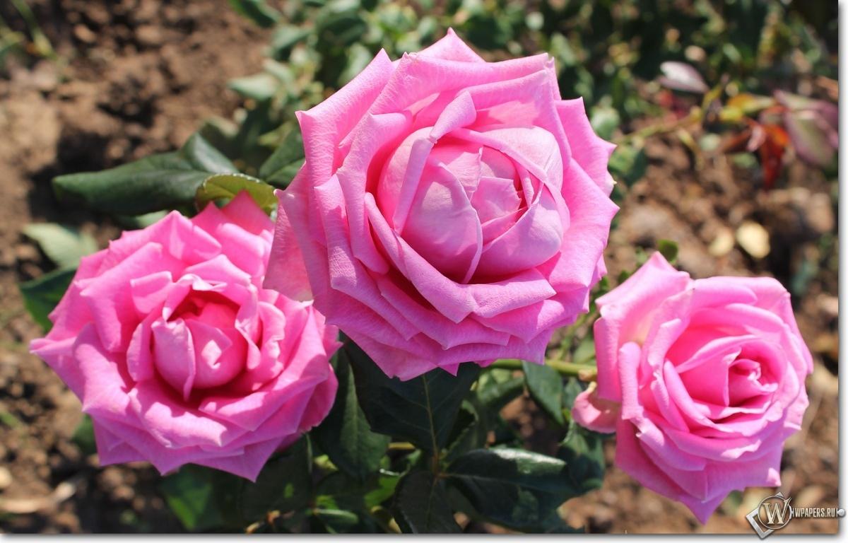 Обои розовые розы на рабочий стол с