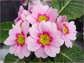Обои Примула: Цветы, Примула, Цветы
