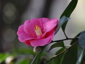 Обои Камелия: Цветок, Розовый, Камелия, Цветы
