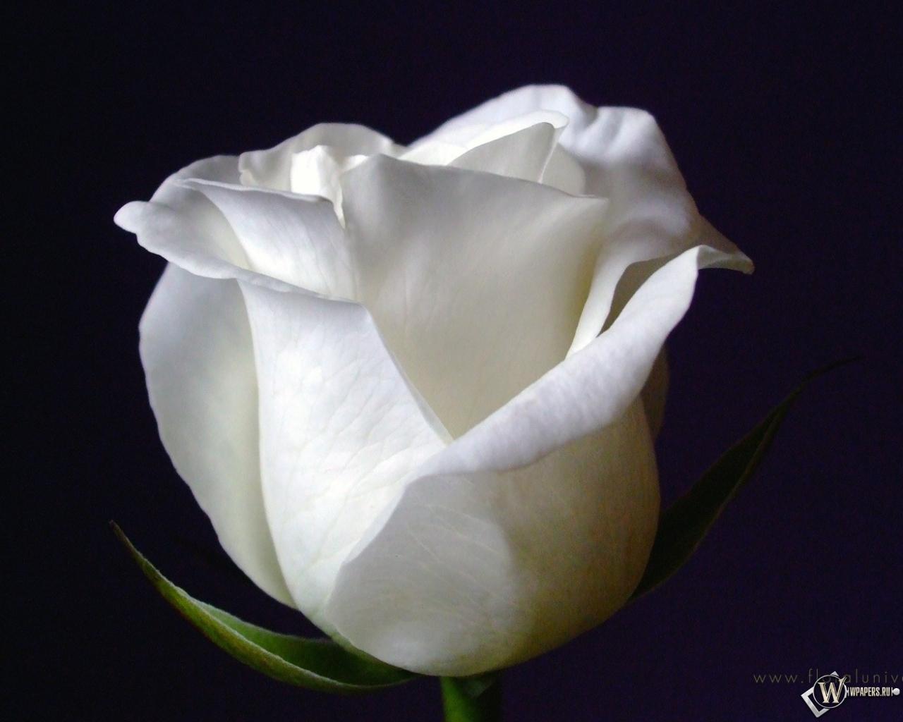 Обои white rose чёрный фон белая роза