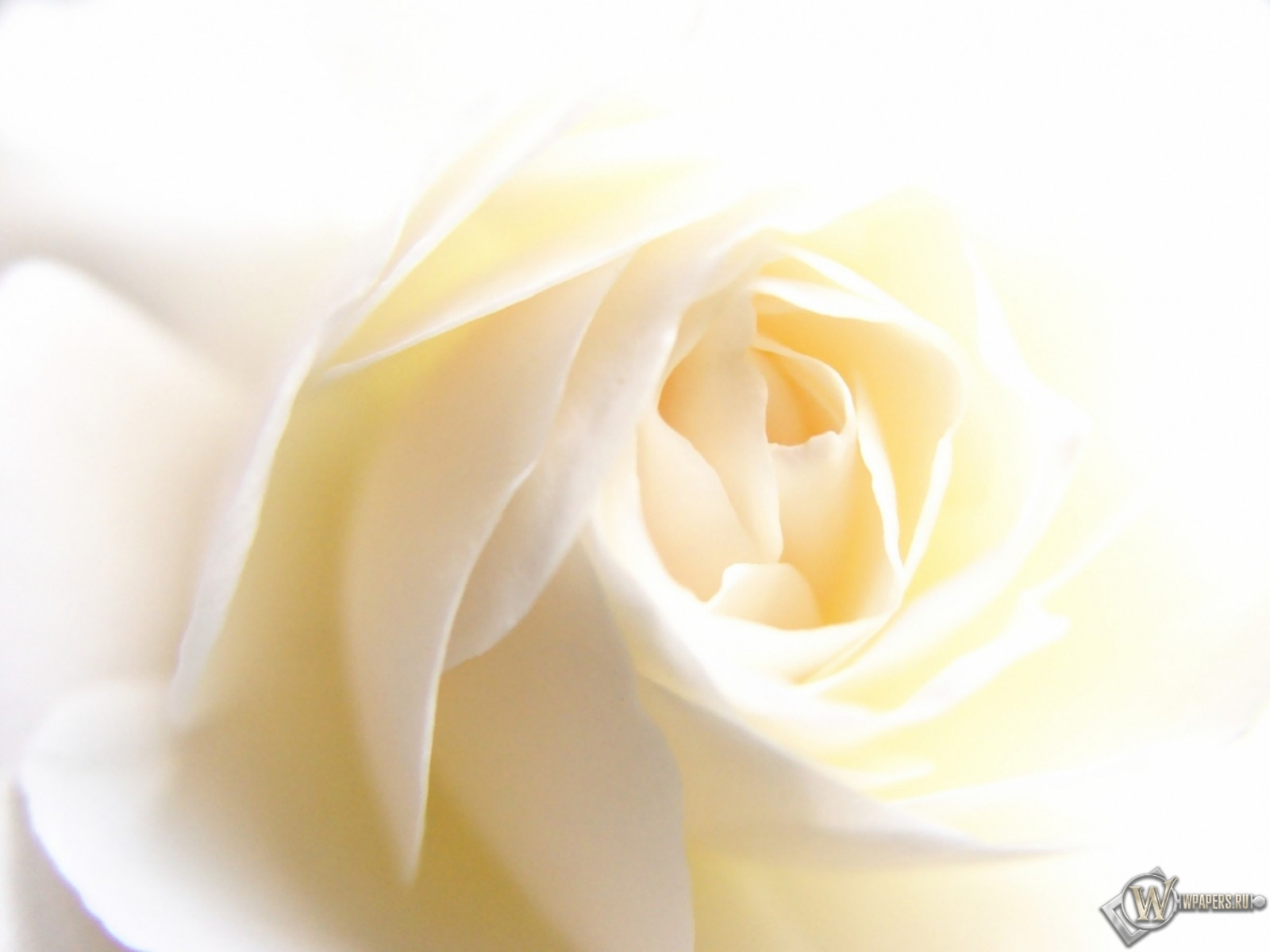 White Rose 1600x1200