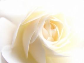 Обои White Rose: Белый, Белая роза, Цветы