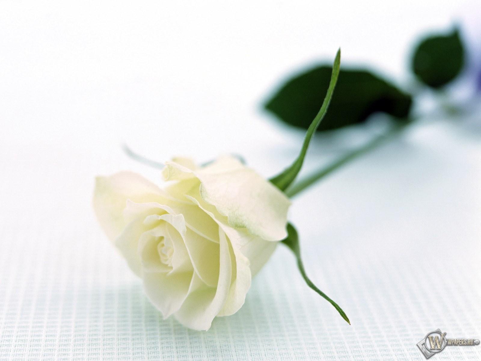 Белая роза 1600x1200