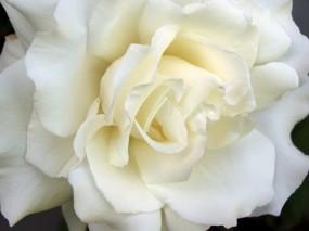 Обои White Rose: Белая роза, Цветы