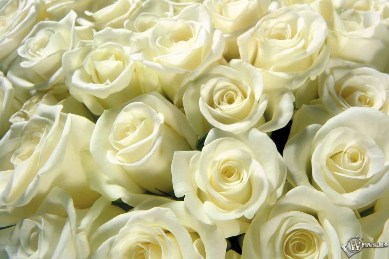 Обои белые розы белые розы 1500x1000
