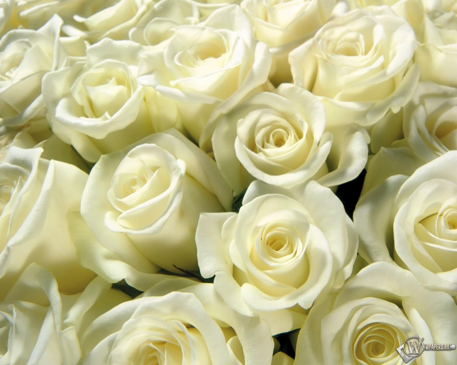 Бесплатно обои на рабочий стол розы