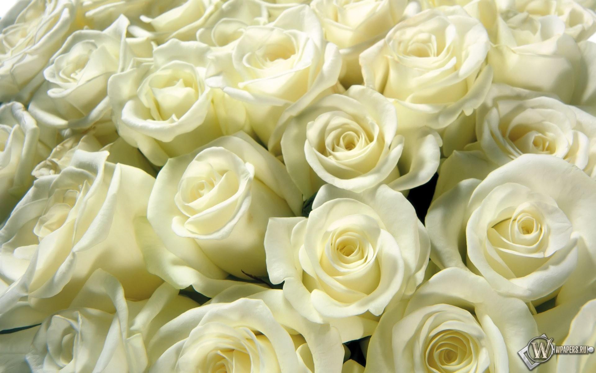 Белые розы 1920x1200