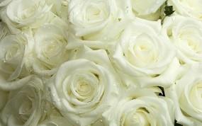 Обои Белые розы: Белые розы, Цветы
