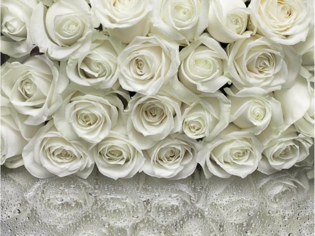 Обои много белых роз