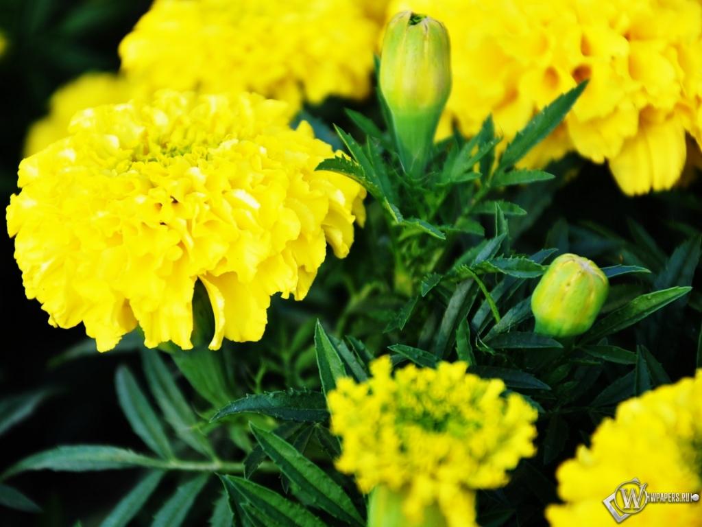 Обои желтые цветы цветы желтый 1024x768