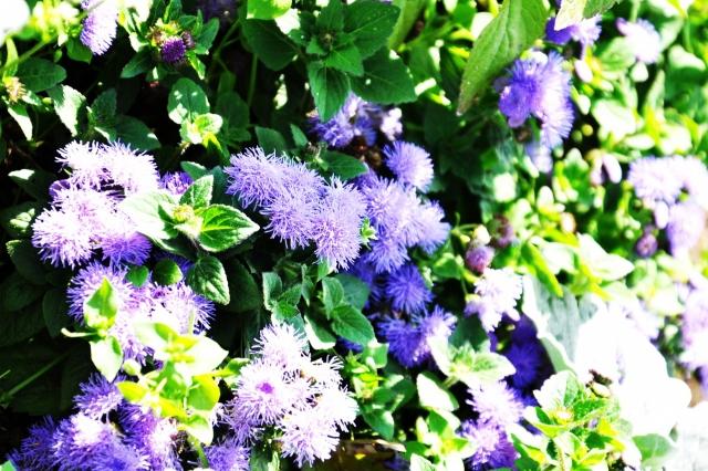 фиолетовые цветочки