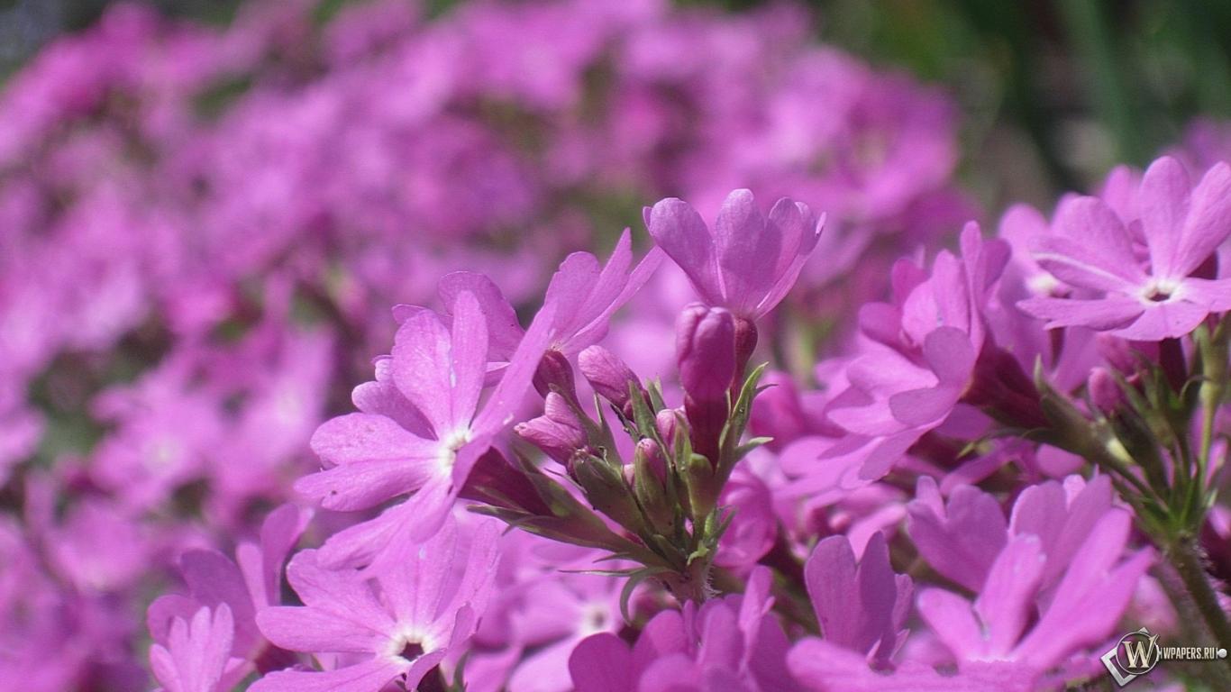Обои розовые цветы цветы весна