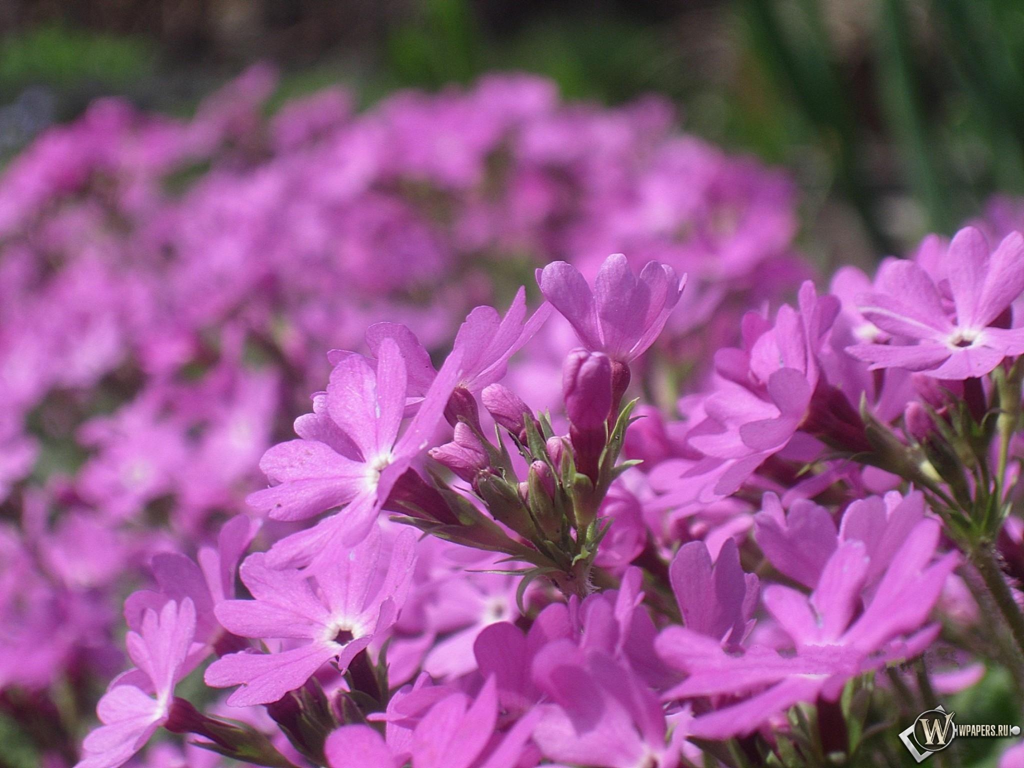 Розовые цветы 2048x1536