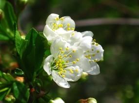 Обои Вишневый цвет: Цветы, Весна, Цветы