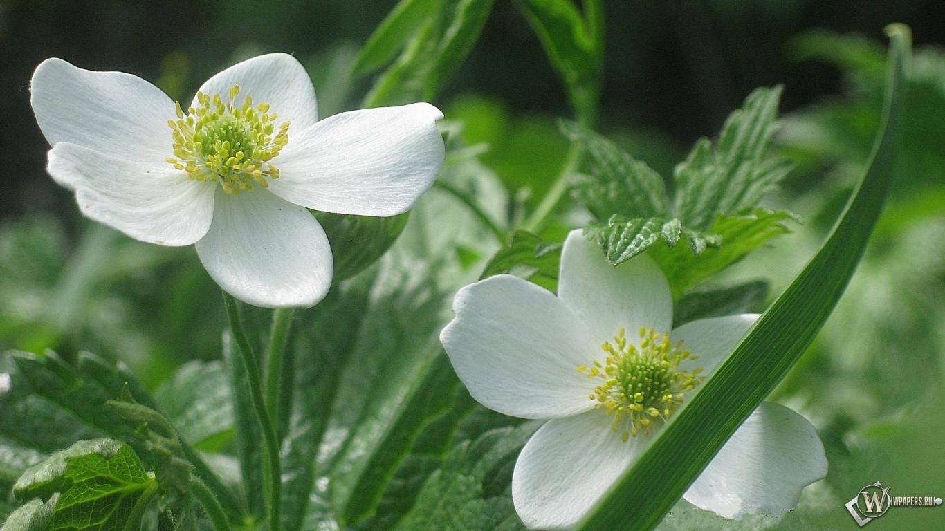 Обои белые цветы цветы 1366x768
