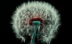Обои Одуванчик: Цветок, Одуванчик, Пух, Цветы