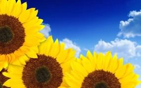 Обои Подсолнухи: Макро, Подсолнух, Цветы