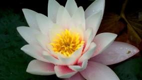 Обои Лилия: Цветок, Макро, Лилия, Цветы