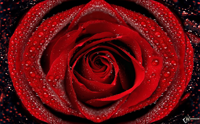 Красная роза 2880x1800