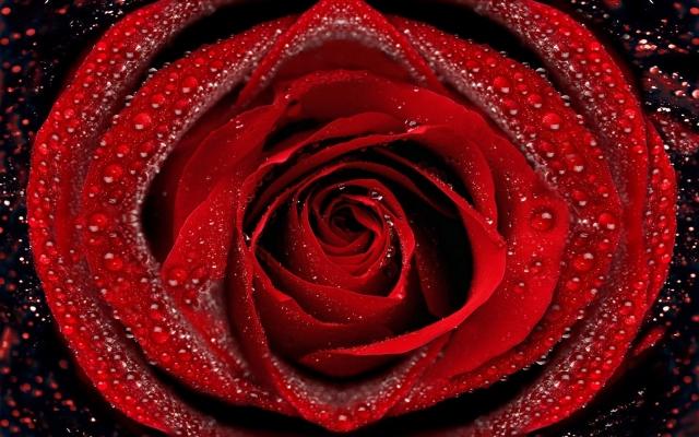 Красная роза роза обоев 56 капли обоев