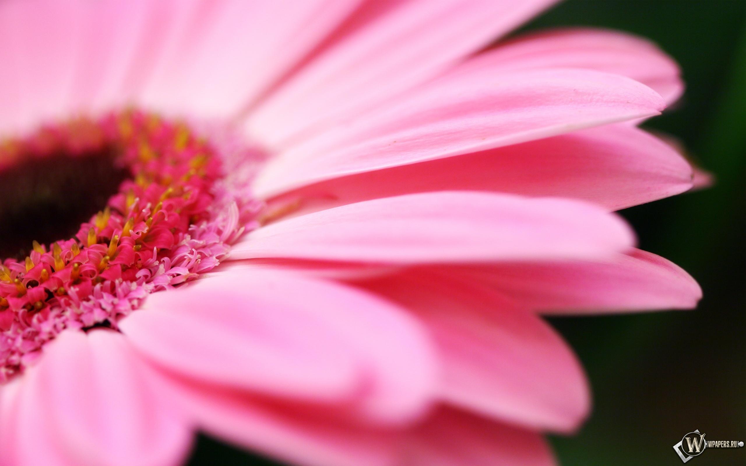 Pink flower 2560x1600