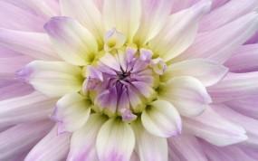 Обои Георгина фиолетовая: Лепестки, Бутон, Цветы