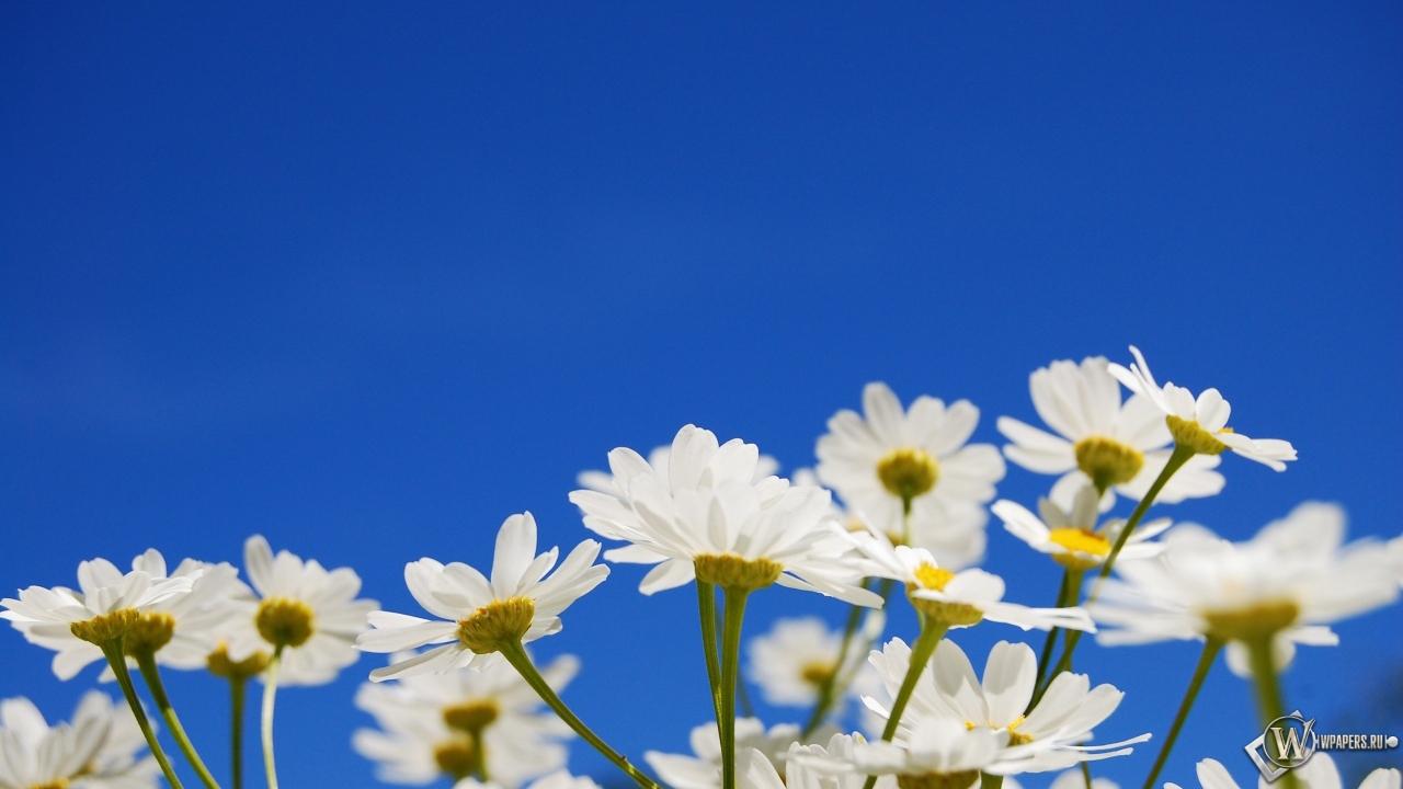Обои ромашки небо цветы ромашки