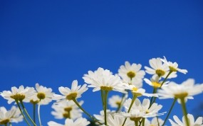 Обои Ромашки: Небо, Цветы, Ромашки, Цветы
