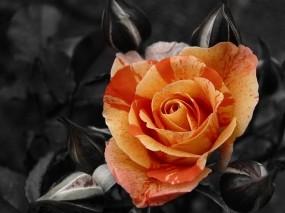 Обои Чайная роза: Роза, Темный фон, контраст, Цветы