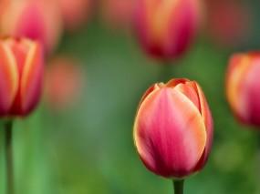 Обои Тюльпаны: Растение, Тюльпан, Цветы