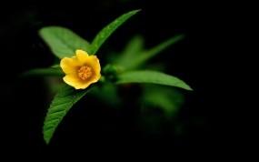 Обои Глоксиния: Природа, Фото, Цветы, Желтый, Обои, Цветы
